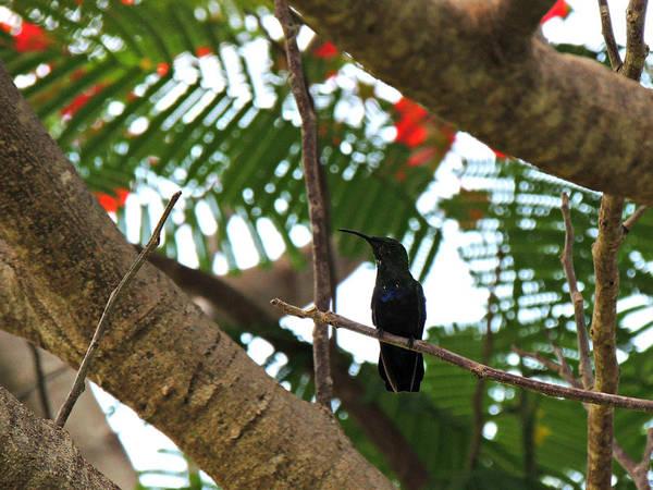 Photograph - Antigua Hummingbird In Flamboyant Tree by Kimberly Perry