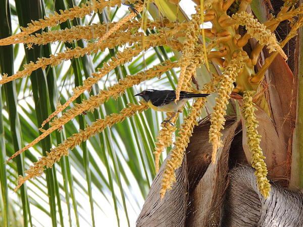 Photograph - Antiguan Sugar Bird by Kimberly Perry