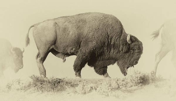 Montana Photograph - Antique Bison by Shane Linke