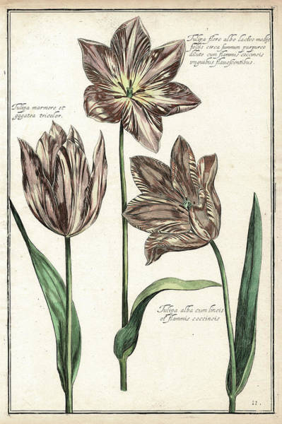 Traditional Home Digital Art - Antique Botanical Renaissance Tulips by Antique Images