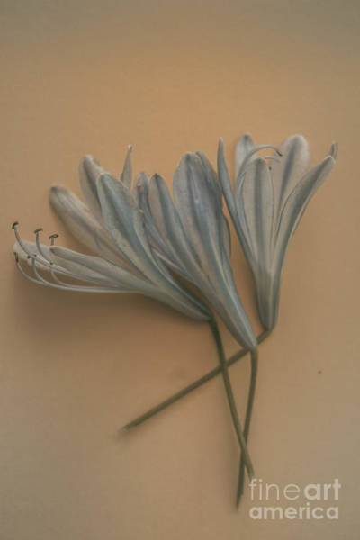 Agapanthus Photograph - Antique Floral Art by Jorgo Photography - Wall Art Gallery