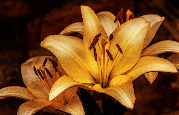 Photograph - Antique Lilies by Dave Bosse