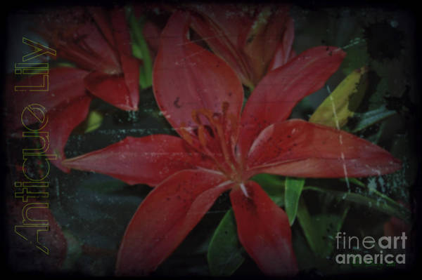 Photograph - Antique Lily by Donna Bentley
