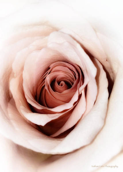 Photograph - Antique Rose by Nathan Little