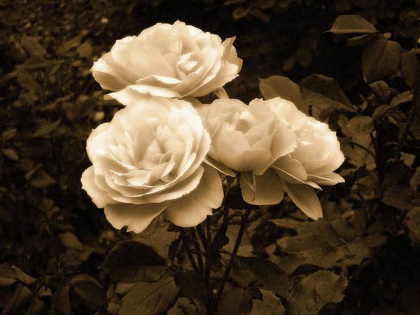 Bernadette Photograph - Antique Roses by Bernadette Claffey