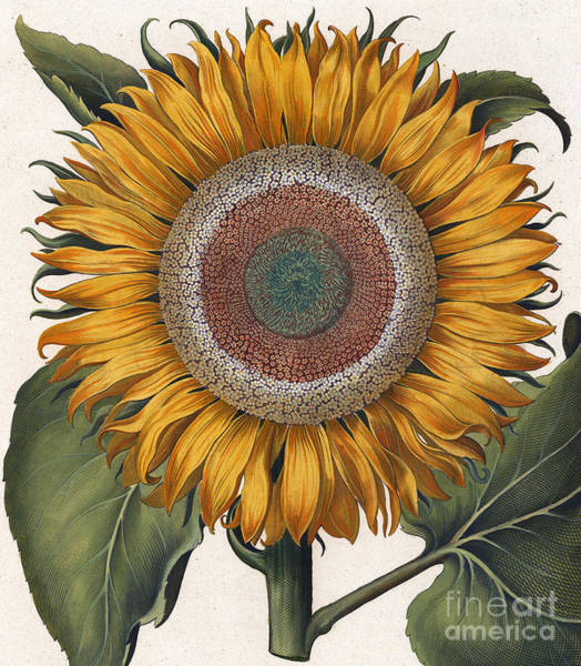 Wall Art - Painting - Antique Sunflower Print by Basilius Besler