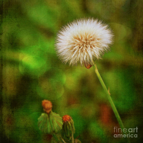 Photograph - Antiqued Dandelion by Dave Bosse