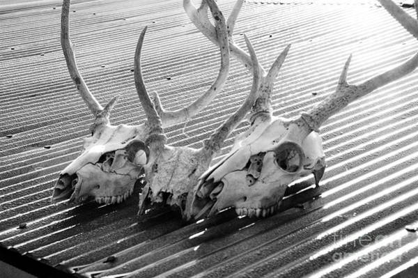 Wall Art - Photograph - Antlers On Tin Roof by Thomas R Fletcher