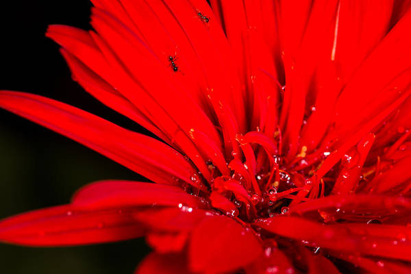 Gota Photograph - Ants And Rain Drops On A Daisy by Emilio Portuondo
