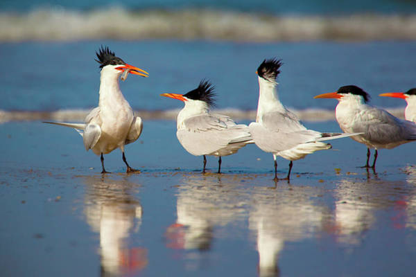 Elegant Tern Wall Art - Photograph - Any Takers? by Brian Knott Photography