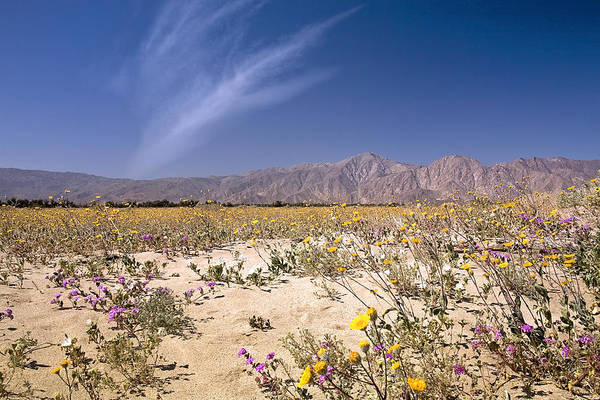 Photograph - Anza Borrego Wildflowers by Endre Balogh