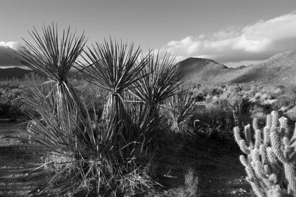 Yucca Plants Photograph - Anza-borrego Yuccas by Peter Tellone