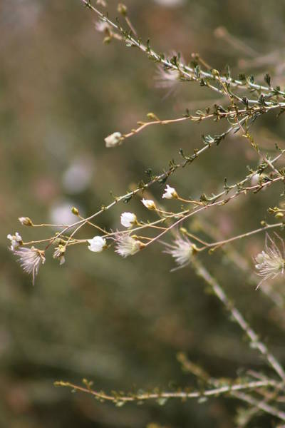 Photograph - Apache Plume In Roswell by Colleen Cornelius