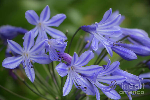 Photograph - Agapanthus In The Rain by Teresa Wilson