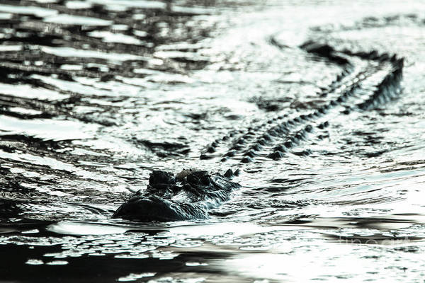 Alligator Alley Photograph - Apex Predator  by Ronald and Nancy