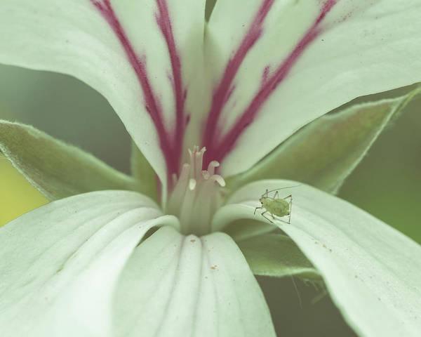 Photograph - Aphid On The Petal Of White Flower B by Jacek Wojnarowski