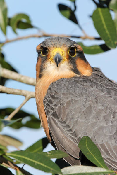Photograph - Aplomado Falcon by Dawn Currie