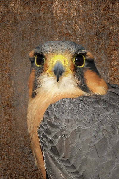 Photograph - Aplomado Falcon Portrait by Dawn Currie