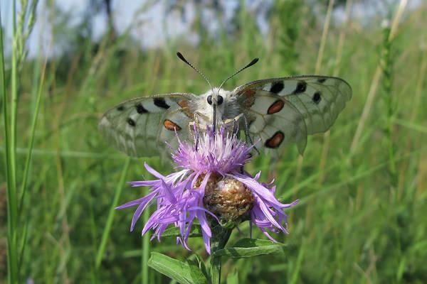 Photograph - Apollo Butterfly - Parnassius Apollo 1 by Alexey Kljatov