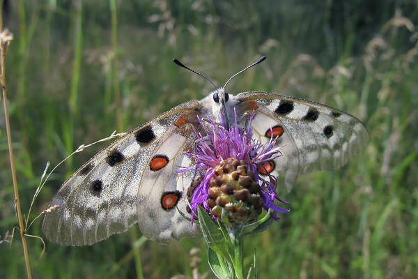 Photograph - Apollo Butterfly - Parnassius Apollo 2 by Alexey Kljatov