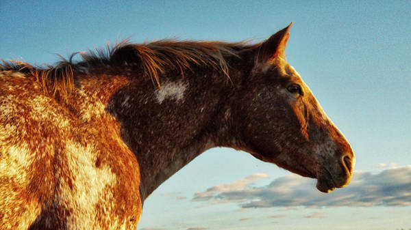 Photograph - Appaloosa Mare by Bryan Smith