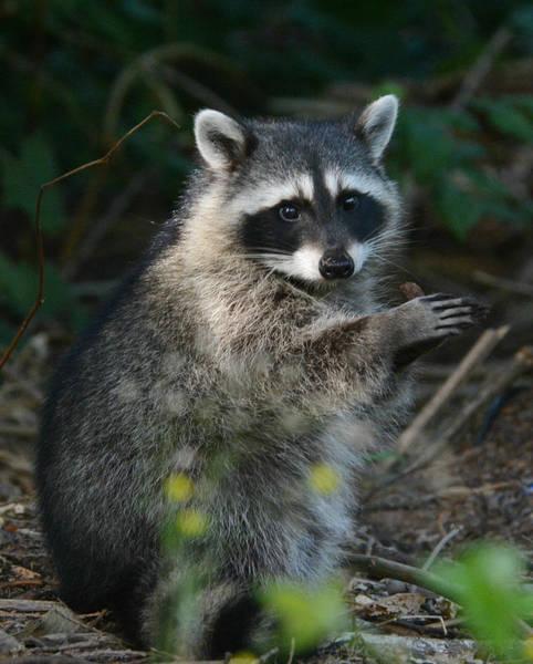 Raccoon Photograph - Applause by Fraida Gutovich