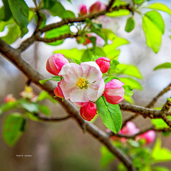 Photograph - Apple Blossom by Dale R Carlson