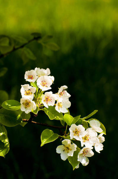 Photograph - Apple Blossom In Spring White Green Black Colors by Matthias Hauser