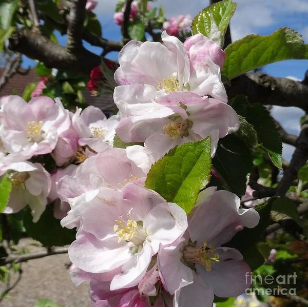 Photograph - Apple Blossom by Karen Jane Jones
