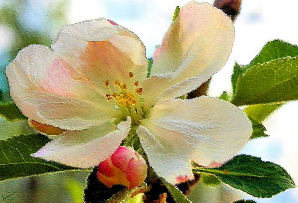 Photograph - Apple Blossom by Kristin Elmquist