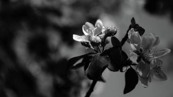Photograph - Apple Blossom - Monochrome Version by Andreas Levi