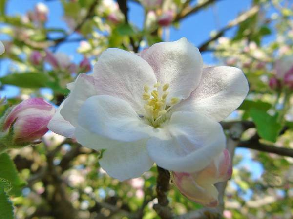 Photograph - Apple Blossom Orchard by Barbara St Jean