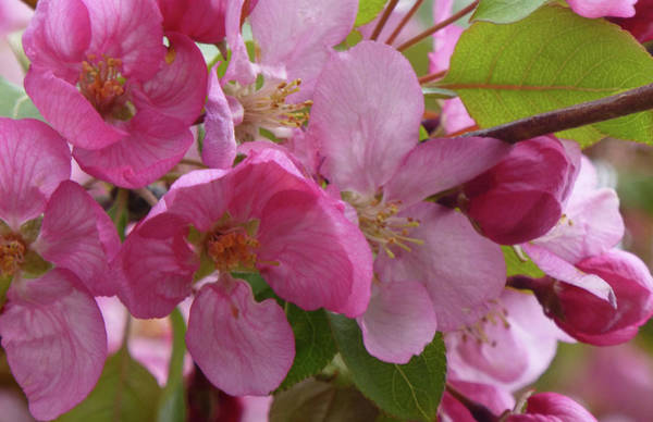 Photograph - Apple Blossoms by Cris Fulton