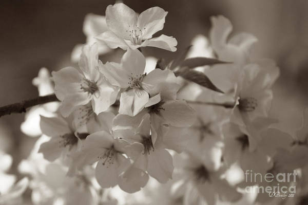 Photograph - Apple Blossoms by Donna Bentley