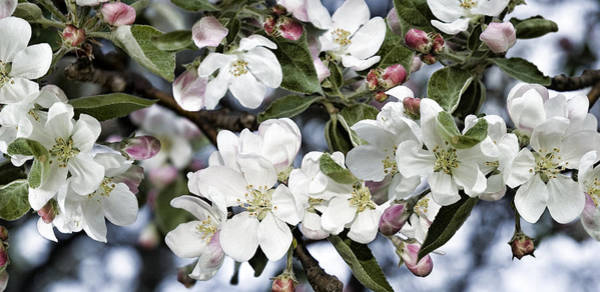 Photograph - Apple Blossoms by JGracey Stinson