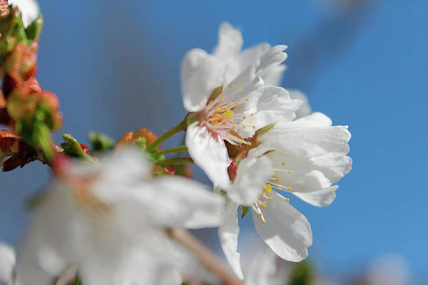 Photograph - Apple Blossoms by Scott Hovind