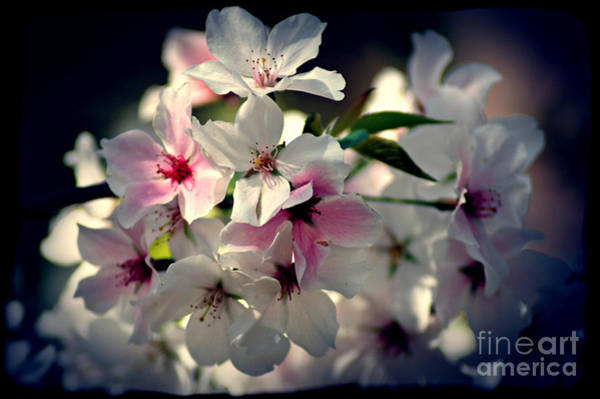 Photograph - Apple Blossoms1 by Donna Bentley