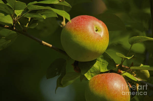 Macintosh Apple Photograph - Apple Harvest by Elaine Mikkelstrup