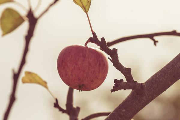 Photograph - Apple On A Tree Branch by Jacek Wojnarowski