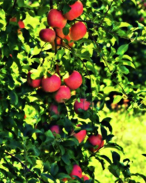 Photograph - Apple Orchard 1 by John Feiser