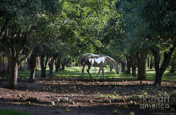 Photograph - Apple Orchard Horse by Craig J Satterlee