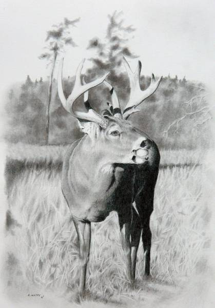 Whitetail Drawing - Apple Snack by Stan White