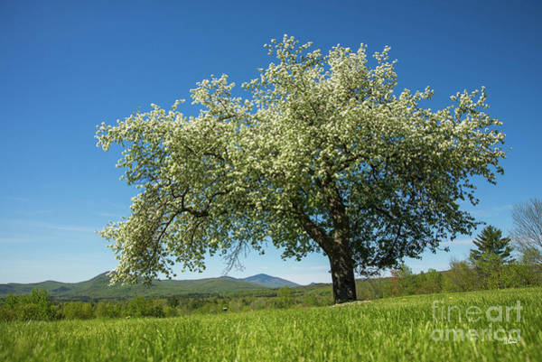 Photograph - Apple Tree by Alana Ranney