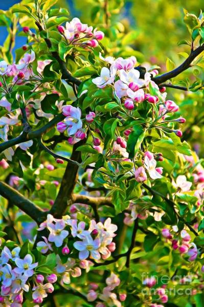 Photograph - Apple Tree Blossoms by Tatiana Travelways