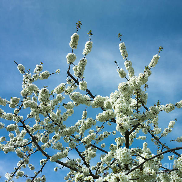Apple Tree Photograph - Apple Tree In Blossom by Bernard Jaubert