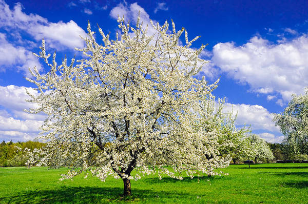 Photograph - Apple Tree In Full Bloom In Spring In Germany by Matthias Hauser