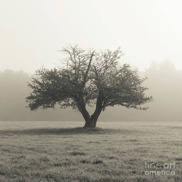 Photograph - Apple Tree In The Mist by Edward Fielding