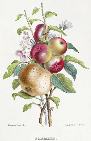 Apple Orchard Painting - Apple Tree by JB Pointel du Portail