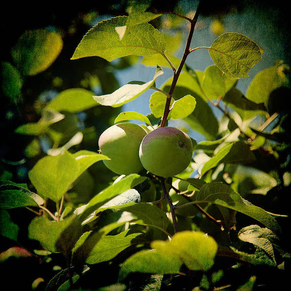Photograph - Apple Tree by Milena Ilieva