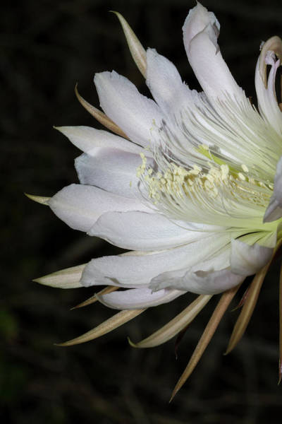 Photograph - Applecactus Flower Closeup by Paul Rebmann